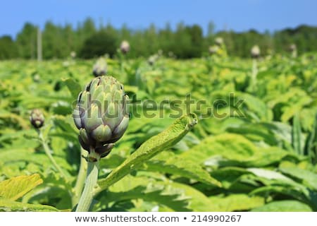 field of artichokes, Brittany, France Stock photo © phbcz