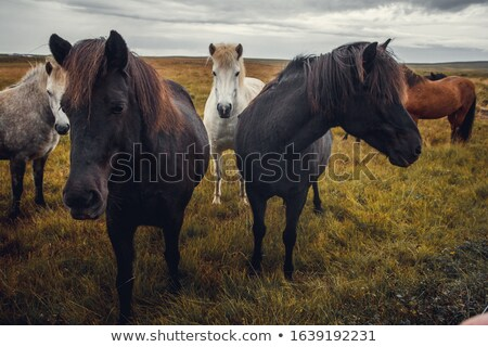 Horse and farm in Iceland Stock photo © elxeneize
