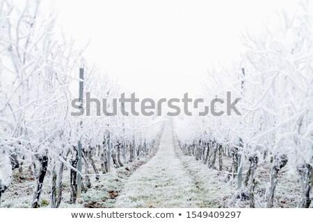 Vineyard winter scene  Stock photo © hraska