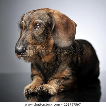 Păr dachshund relaxare gri studio frumuseţe Imagine de stoc © vauvau