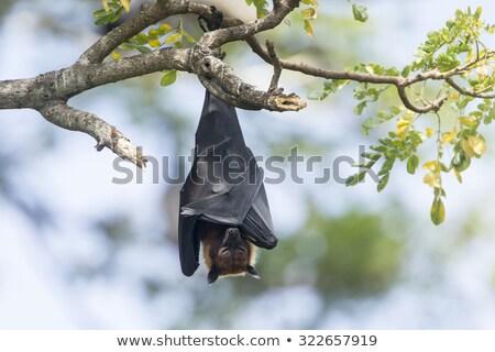 battant · Fox · bat · suspendu · mangue · arbre - photo stock © hofmeester