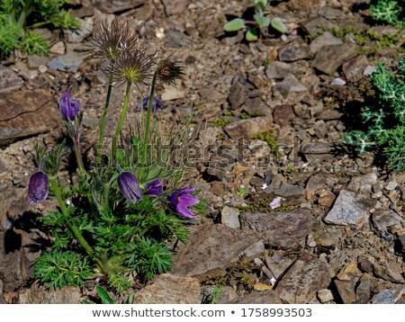 çiçek güzellik lâle bitki güzel taze Stok fotoğraf © Alexan66