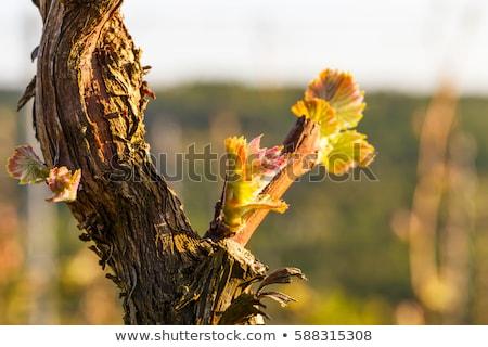 Spring in the vineyard. Stock photo © lithian