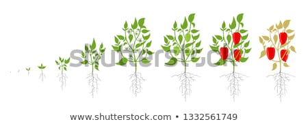 Chile Pepper Plant Colorful Vector Illustration Stock photo © robuart