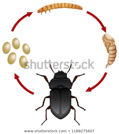 Life cycle of a mealwoem Stock photo © bluering