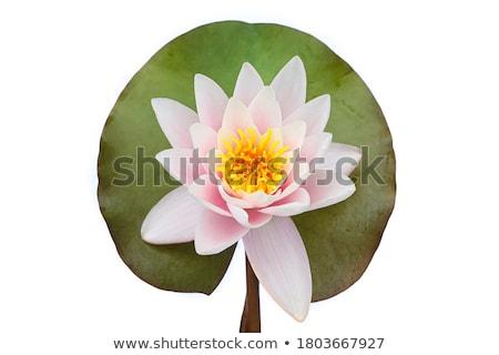 Stockfoto: Water · lelie · geïsoleerd · witte · Blauw · bloem