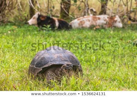 Galapagos Giant Tortoise And Cows on Santa Cruz Island in Galapagos Islands Stock photo © Maridav