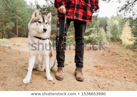 ハスキー 犬 座って 森林 道路 ストックフォト © pressmaster