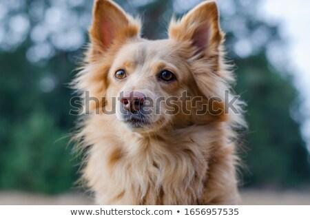 Portret aanbiddelijk gemengd ras puppy Stockfoto © vauvau