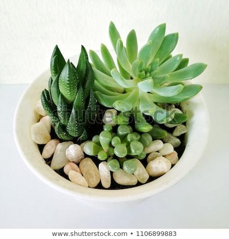 Indoor houseplant succulent stock photo © Melnyk