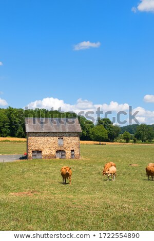 Limousine cows in France in front of barn Stock photo © ivonnewierink