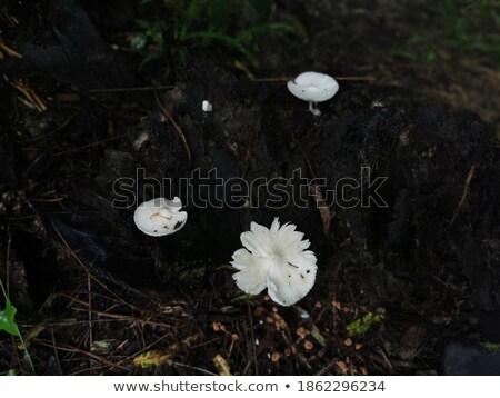 Tinóru gomba gombák moha ág ugatás fa Stock fotó © dolgachov