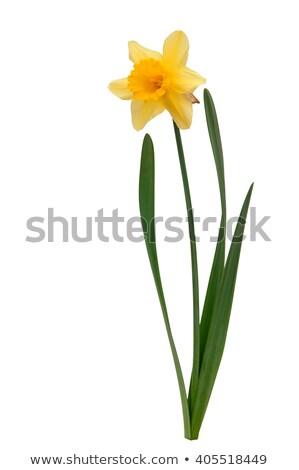 twee · narcissen · Geel · een · focus · tuin - stockfoto © bobkeenan