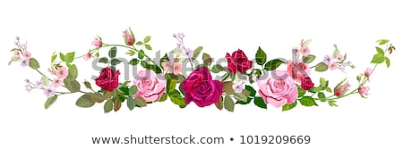 Kırmızı gül çiçek sınır çiçekler yalıtılmış beyaz Stok fotoğraf © sherjaca