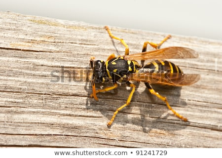 Yellow Jacket Wasp Chews Wood into Pulp stock photo © mackflix