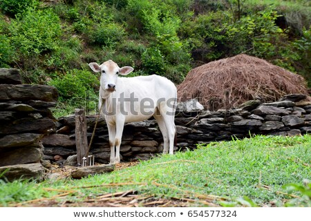 indian · blanche · vache · bébé · ferme · terres - photo stock © ziprashantzi
