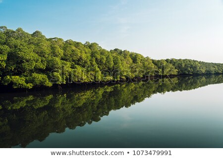 large mangrove forest stock photo © smithore