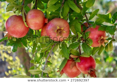fresh ripe pomegranate tree outdoor in summer stock photo © juniart