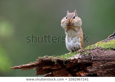 çizgili sincap doğu ahşap bank doğa Stok fotoğraf © brm1949