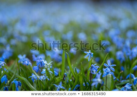 Siberian Squill Stock photo © Stocksnapper