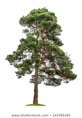 Big Pine Tree Photo stock © Zerbor