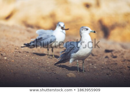 seagulls soaring together stock photo © mikecharles