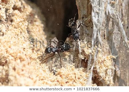 плотник · муравей · макроса · выстрел - Сток-фото © brm1949