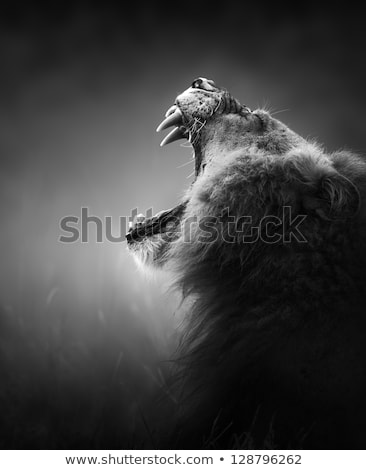 Lion displaying dangerous teeth Stock photo © Donvanstaden