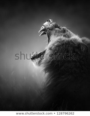 oroszlán · veszélyes · fogak · fekete · kép · haj - stock fotó © donvanstaden