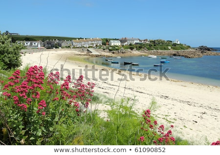 Old town beach red valerian, St. Mary's, Isles of Scilly, Cornwall UK. Stock photo © latent