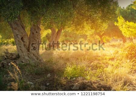 sun beam through olive tree branch stock photo © anna_om