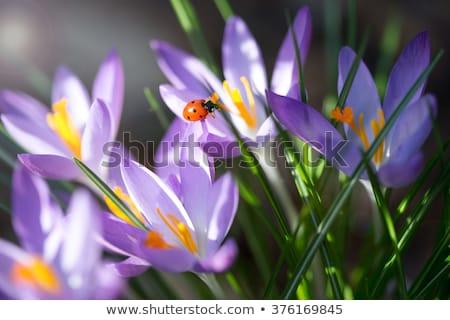 Açafrão flor joaninha flor natureza Foto stock © manfredxy