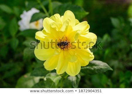 young yellow dahlia flower bud stock photo © stocker