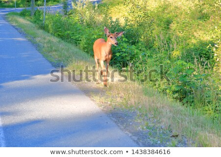 Fawn Approaching the Road