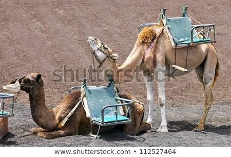 deve · hayvan · park · açmak · bir · gökyüzü - stok fotoğraf © meinzahn