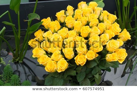 group of fresh yellow roses stock photo © bloodua