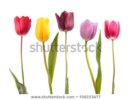 Regalo rosa tulipanes aislado blanco Pascua Foto stock © natika