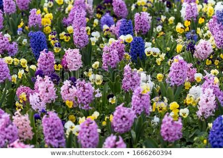 Mooie hyacint voorjaar tuin bloem gras Stockfoto © Moravska