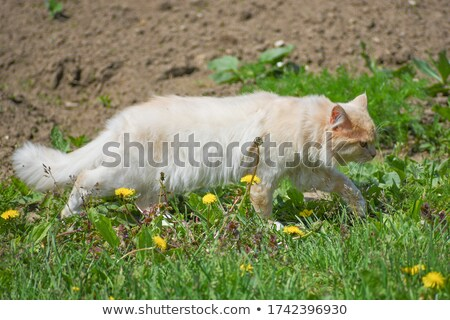 cat hunting mouse stock photo © zsooofija