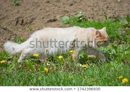 cat hunting mouse stock photo © zsooofija