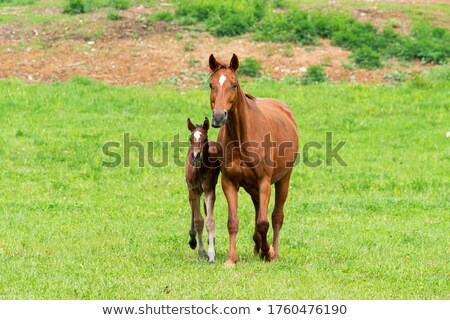 Stock photo: Foal in field with its mother