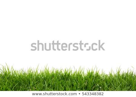green grass on white background  stock photo © tetkoren