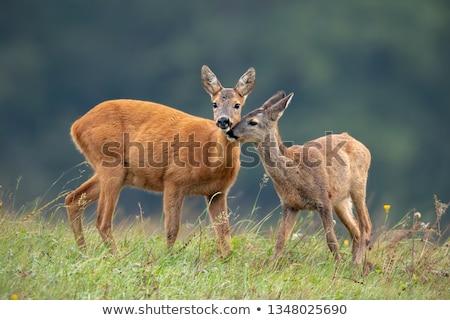 fiatal · ikra · szarvas · áll · erdő · természet - stock fotó © oleksandro
