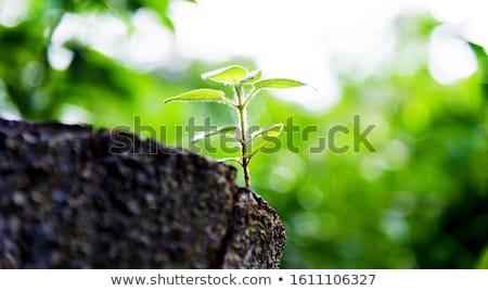 Growing tree stumps Stock photo © bluering