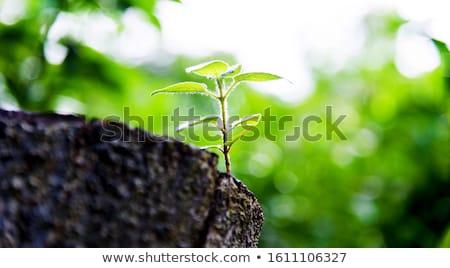 Growing tree stumps Stock photo © bluering