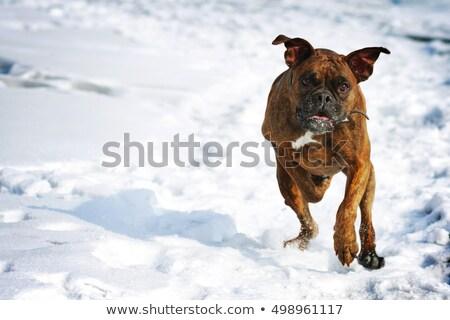 rebanho · inverno · dia · corrida · neve - foto stock © goroshnikova