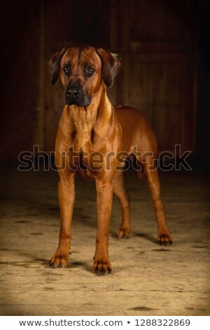 Beautiful rhodesian ridgeback in a white photo studio stock photo © vauvau