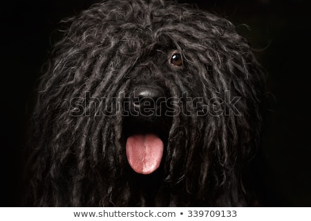 close-up puli portrait in studio stock photo © vauvau