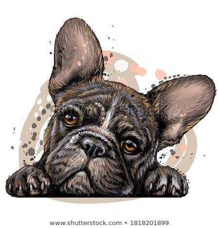French bulldog portrait in the white studio Stock photo © vauvau