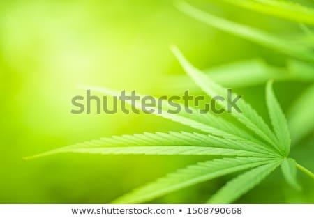 kenevir · esrar · doku · yeşil · yaprak · yaprak - stok fotoğraf © romvo